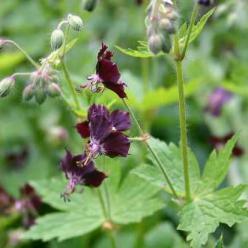 Geranium phaeum 'Little Boy' - Ooievaarsbek