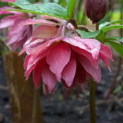 Helleborus Roze Party Dress Strain - Nieskruid, Kerstroos