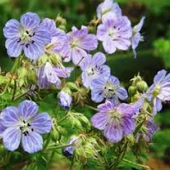 Geranium pratense 'Mrs Kendall Clark'  - Ooievaarsbek
