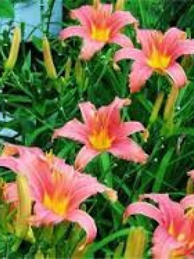 Hemerocallis 'Cara Mia' - Daglelie