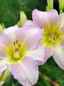 Hemerocallis 'Catherine Woodbury' (Daglelie)