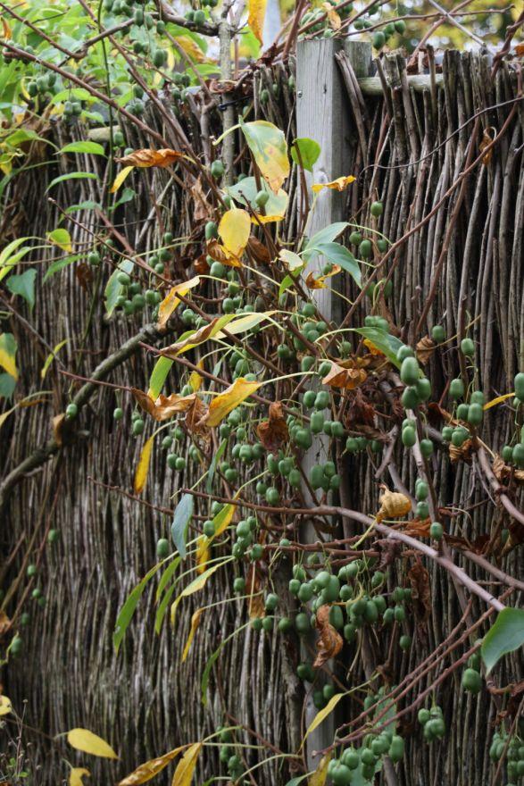 Actinidia arguta 'Issai' (Zelf bestuivende Kiwibes)