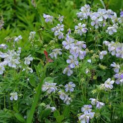 Geranium pratense 'Splish-splash' - Ooievaarsbek