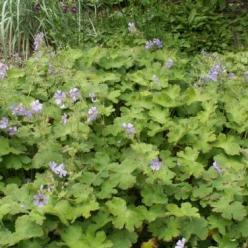 Geranium renardii 'Tcschelda' - Ooievaarsbek