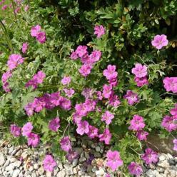 Geranium x riversleaianum 'Russell Prichard' - Ooievaarsbek