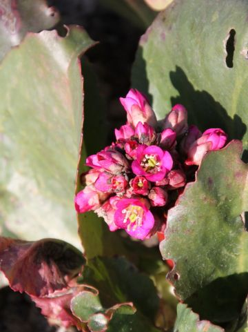 Bergenia 'Winterglut' - Schoenlappersplant