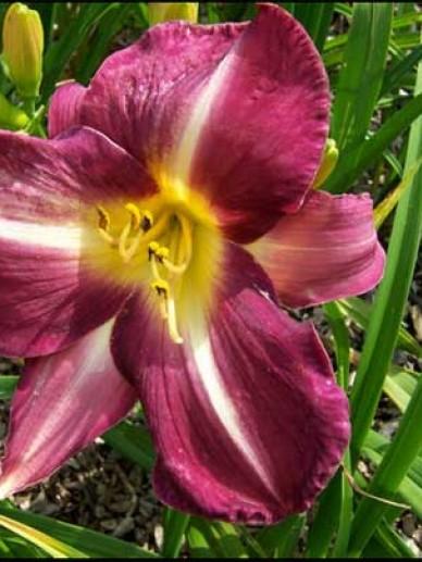 Hemerocallis 'Lavender Deal' - Daglelie