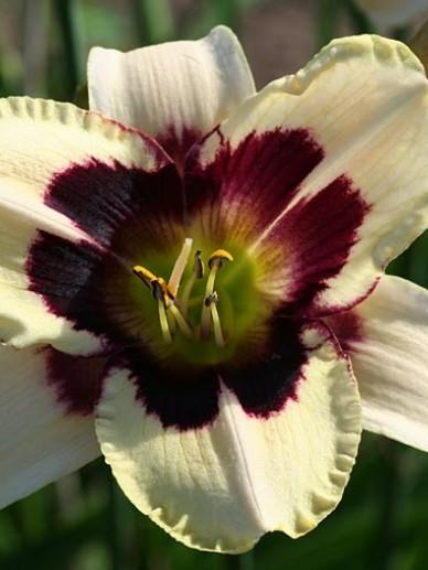 Hemerocallis 'Moonlit Masquerade' - Daglelie