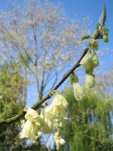 Halesia carolina - Sneeuwklokjesboom