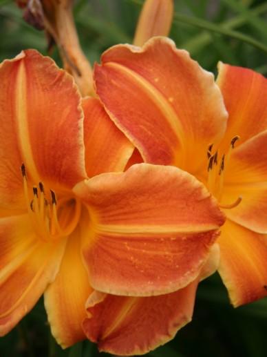 Hemerocallis 'Shola' - Daglelie