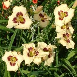 Hemerocallis 'Siloam Ury Winniford' - Daglelie, Eéndagsbloem