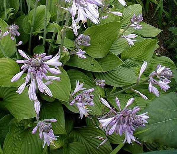 Hosta fortunei Hyacinthina (Hartlelie, Funkien, Herzblattlilien, Hostas, Plantain lilies)