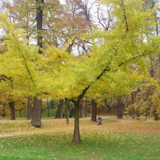 Ginkgo biloba 'Horizontalis' (Japanse notenboom)