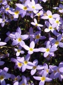 Houstonia caerulea 'Millard's Variety' (Porseleinsterretje, alpengemkers)