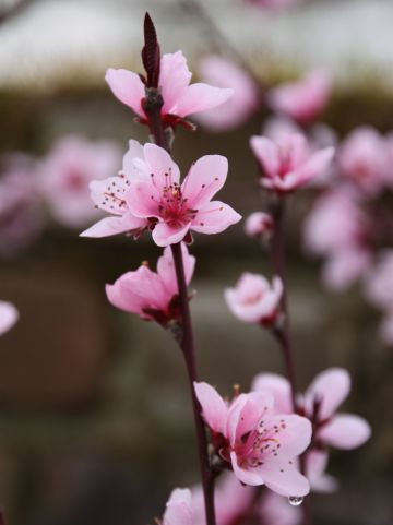 Prunus persica 'Purpurea' - Perzik