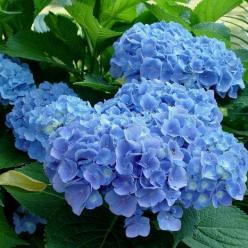 Hydrangea macrophylla 'Blue Heaven' - Tuinhortensia