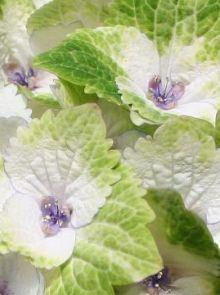 Hydrangea macrophylla 'Magical Noblesse' (Hortensia)
