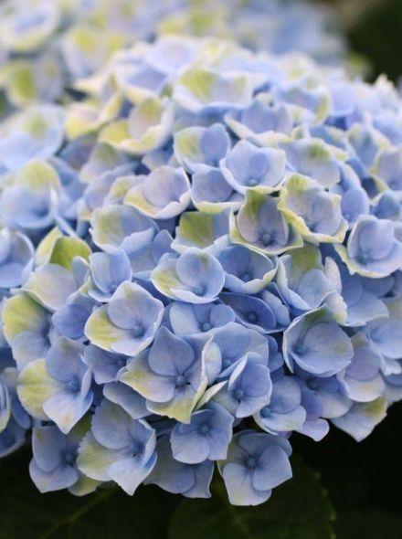 Hydrangea 'Magical Revolution Blue' (Hortensia)