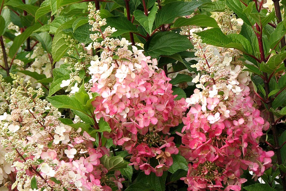 hydrangea paniculata 39 pinky winky 39 pluimhortensia. Black Bedroom Furniture Sets. Home Design Ideas