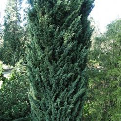 Juniperus chinensis 'Blaauw' - Jeneverbes