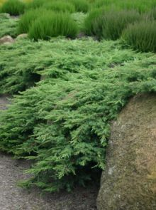 Juniperus communis 'Hornibrookii' (Kruipende Jeneverbes)