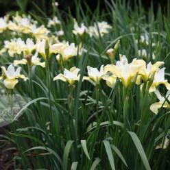 Iris sibirica 'Butter and Sugar' - Iris