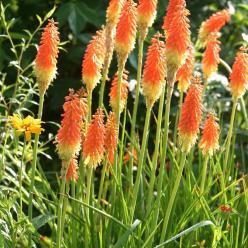 Kniphofia uvaria 'Grandiflora' - Vuurpijl, fakkellelie