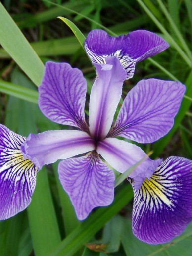 Iris versicolor - Lis