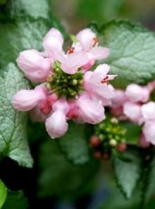 Lamium maculatum 'Pink Pewter' (Gevlekte dovenetel)