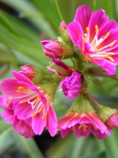 Lewisia 'Sunset Hybrids' - Bitterkruid