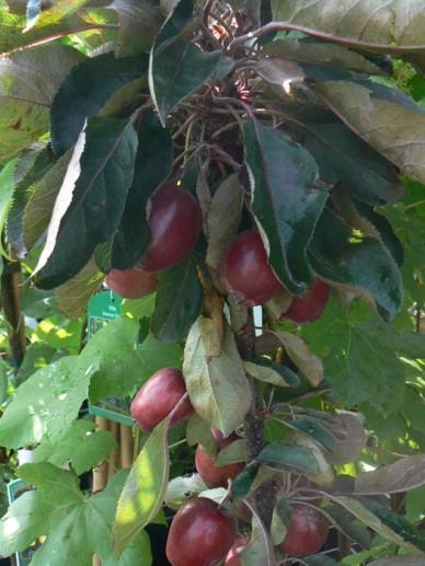Malus domestica 'Redlane' - Appelboom (Minitree)