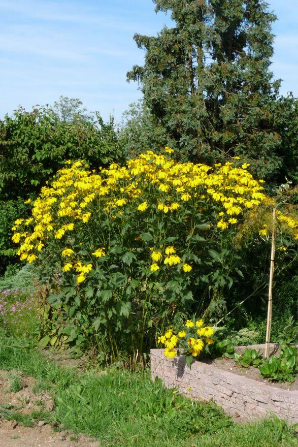 Rudbeckia nitida 'Herbstsonne'  (Zonnehoed)