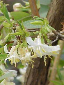 Lonicera fragrantissima (Kamperfoelie of struikkamperfolie)