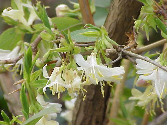 lonicera fragrantissima (kamperfoelie of struikkamperfolie) | de