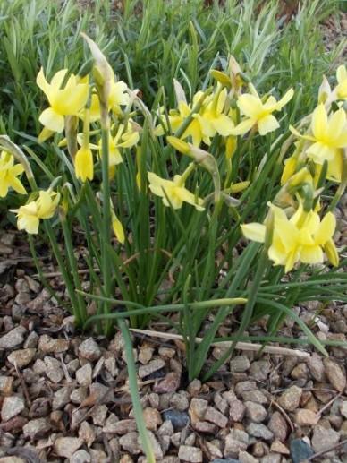 Narcissus 'Baby Moon' - Narcis