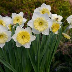 Narcissus 'Ice Follies' - Narcis