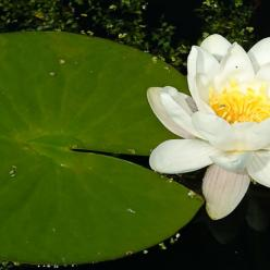Nymphaea alba - Waterlelie