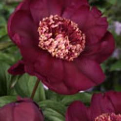 Paeonia lactiflora 'Nippon Beauty' - Pioenroos