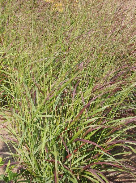 Panicum virgatum 'Strictum' (Vingergras, Pluimgierst, Switch grass)
