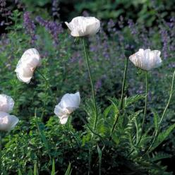 Papaver orientale 'Perry's White' - Oosterse papaver