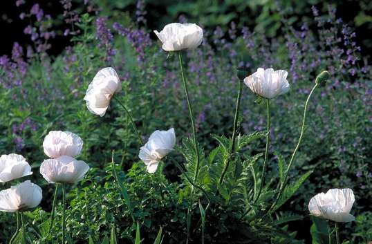 Papaver orientale 'Perry's White' (Oosterse papaver, witte klaproos)