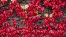 Kasteel wingerd, Wilde wingerd (Parthenocissus)