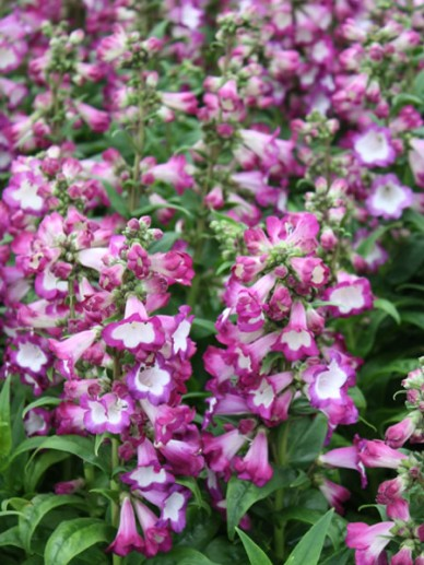 Penstemon 'Polaris Purple' - Slangekop