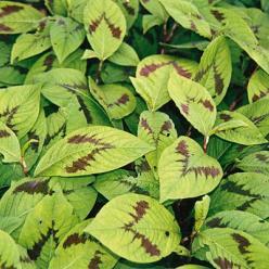 Persicaria filiformis 'Variegata' - Duizendknoop