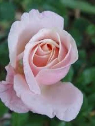 Rosa 'Audrey Hepburn' - Grootbloemige roos