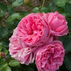 Rosa 'Leonardo da Vinci' - Trosroos