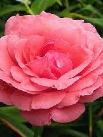Rosa 'Queen Elizabeth' - Floribundaroos