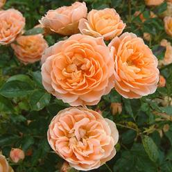 Rosa 'Sweet Dream' - Heesterroos