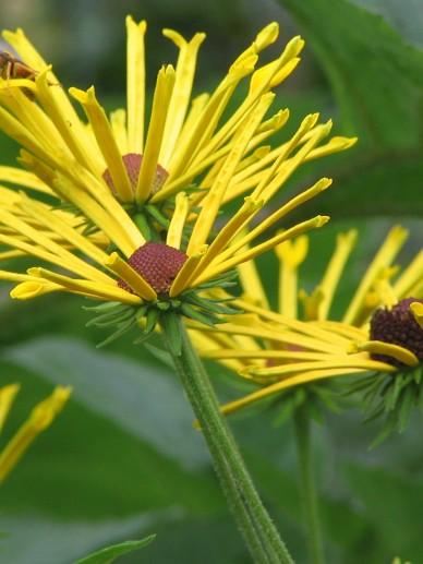 Rudbeckia subtomentosa 'Henry Eilers'