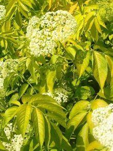 Sambucus racemosa 'Plumosa Aurea' (Trosvlier of Gele vlier)